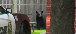A black bear is spotted on Green Bay's west side on Thursday September 18, 2014. (Photo from: FOX 11/YouTube).
