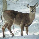Hundreds of Antlerless Deer Licenses Remain In ND
