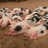 Pigs ( By Heribert Duling (Own work (Original text: Eigene Aufnahme)) [CC-BY-SA-3.0-de (http://creativecommons.org/licenses/by-sa/3.0/de/deed.en), CC-BY-SA-3.0 (http://creativecommons.org/licenses/by-sa/3.0), GFDL (http://www.gnu.org/copyleft/fdl.html) or CC-BY-SA-3.0 (http://creativecommons.org/licenses/by-sa/3.0/)], via Wikimedia Commons
