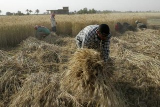 Villagers harvest wheat in a field in Albu Efan, southwest of Falluja, 50 km (30 miles) west of Baghdad, in this May 2, 2008 file photo.  CREDIT: REUTERS/MOHANNED FAISAL/FILES