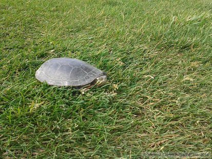 Turtle Fence Coming To Highway 40 - News - WIBQ - 1230 AM Terre Haute ...