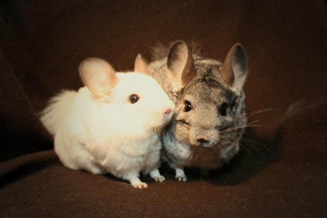 lola and lilly are chinchillas that are looking for their