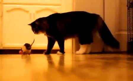 VIDEO: Rat Playing Fetch With Owner - Cat Doesn't Care