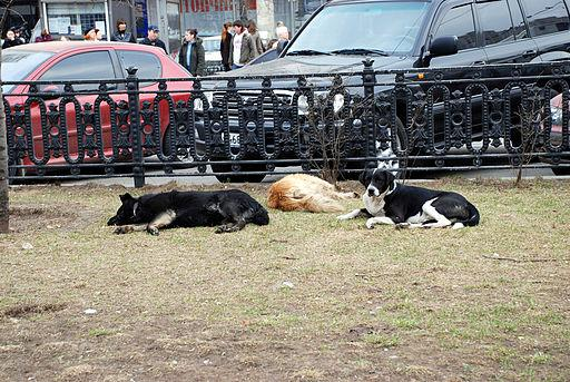 A Common Moscow Sight Stray Dogs Sleeping In A Park