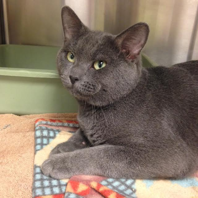 julian is a 3 year old grey domestic shorthair cat who has been at the shelter since april which is longer than any other cat there
