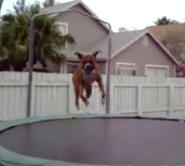 video animals jumping on trampolines watch here funny