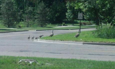 Geese crossing the street do you know what that means